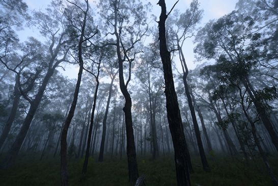 gum trees and mist