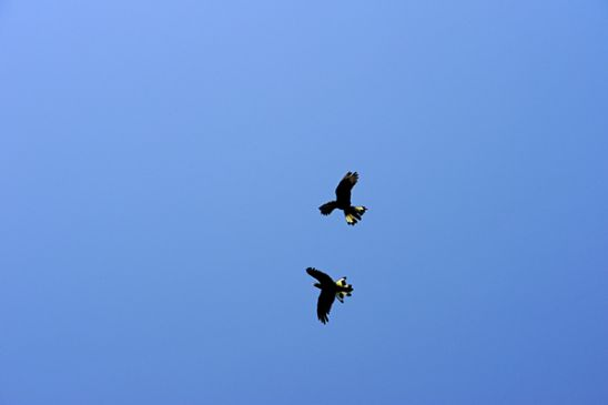 Black cockatoos in flight