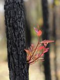 red leaves sprouting from tree trunk