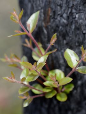 green shoots on tree trunk