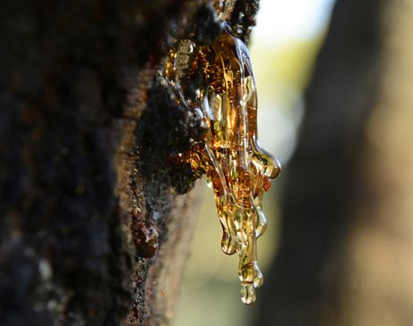 sap leaks from a wattle tree