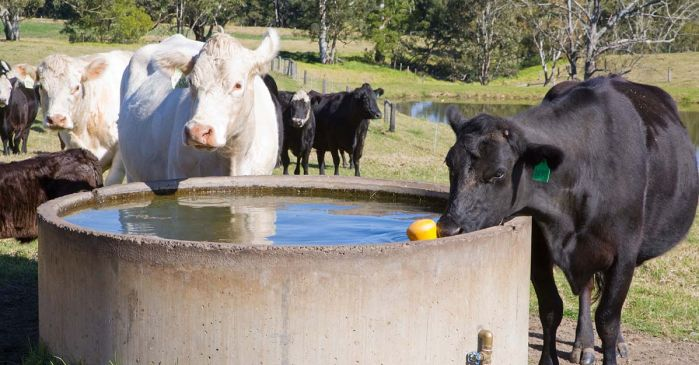 stock around a water trough