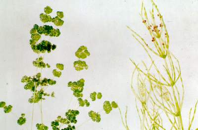 Algae grey-green and secondary branches without whorls of branches. A stonewort (Characeae) of the genus Chara