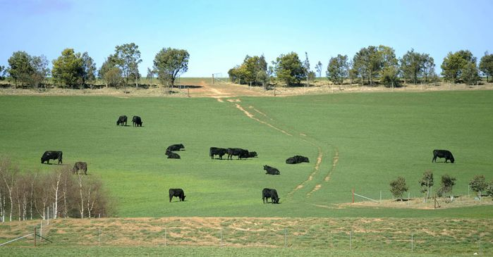 cattle on agricultural land