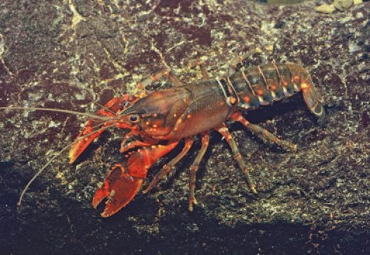 a crayfish in the water