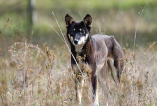a dingo with dark patches