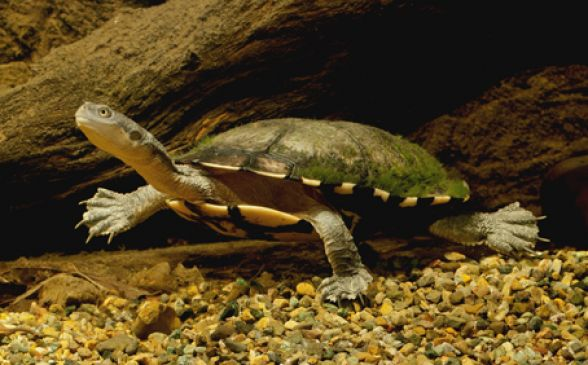 An Eastern Snake-necked turtle in its environs