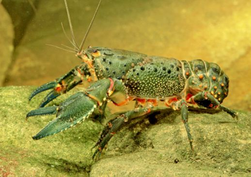 a freshwater lobster