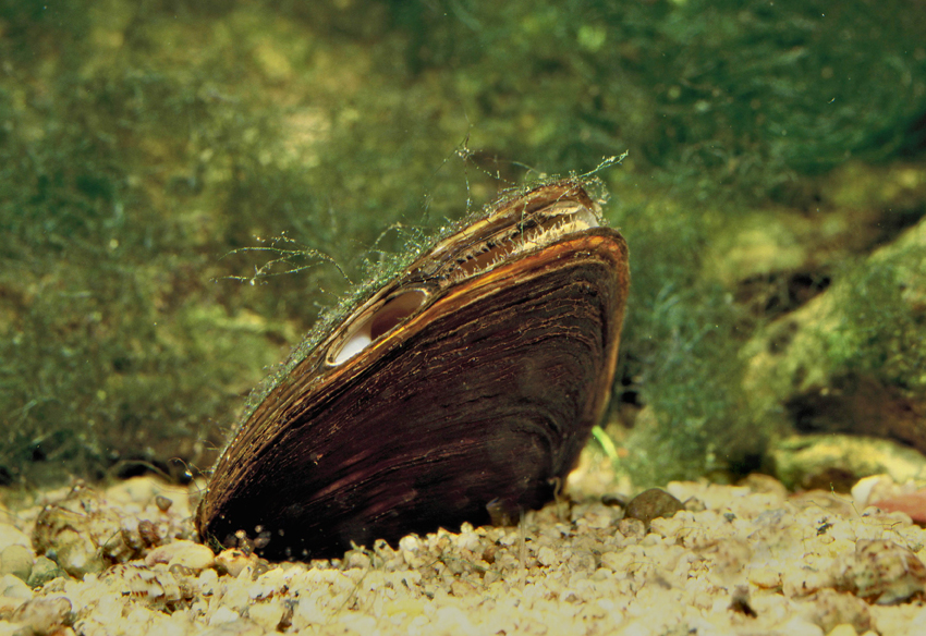 A freshwater mussel on the bed of the lake