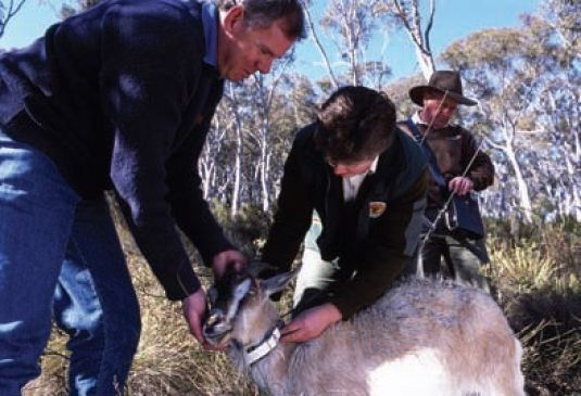 A feral goat captured