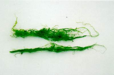 Filaments in a thick mat, green or brown usually branched. Possibly the green alga Cladophora